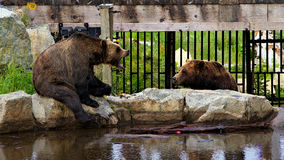 Grizzly bear scolding his resigned partner. Bear partners having a row Stock Images
