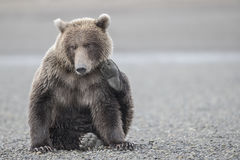 Grizzly bear scratching its cheek. Stock Photos