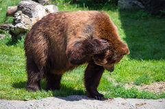 Grizzly bear scratching its head Royalty Free Stock Images