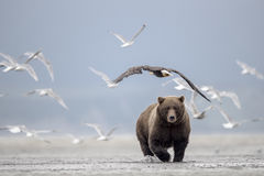 Grizzly bear, Sea Gulls and Bald Eagle. A Grizzly bear, has left its meal, a salmon, which yields an opportunity for Sea Gulls and a Bald Eagle. Photo taken on Stock Images