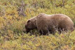 Grizzly Bear Searching for Berries in Fall Royalty Free Stock Image