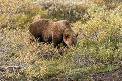 Grizzly Bear Searching for Berries Royalty Free Stock Photography