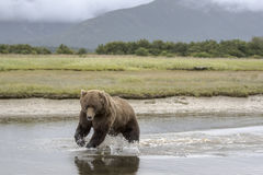 Grizzly Bear a second before a catch. Royalty Free Stock Image