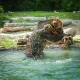 grizzly bear shakes water after a swim in the lake Stock Photo