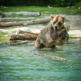 grizzly bear shakes water after a swim in the lake Royalty Free Stock Image