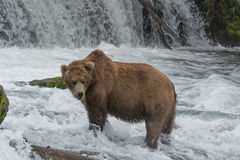 A Grizzly bear in the shallow waters at the base of a waterfall catches salmon. During the annual salmon run. Brook Falls, Katmai National Park, Alaska royalty free stock images