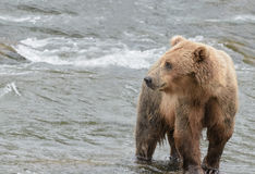 A Grizzly bear in the shallow waters at the base of a waterfall catching salmon Royalty Free Stock Photography