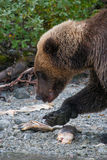 Grizzly bear on shoreline Royalty Free Stock Photo