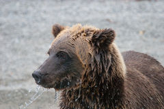 Grizzly bear on shoreline Royalty Free Stock Photos