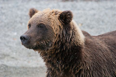 Grizzly bear on shoreline Stock Image