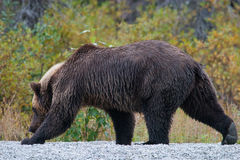 Grizzly bear on shoreline Royalty Free Stock Photography