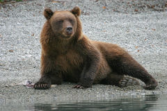Grizzly bear on shoreline Royalty Free Stock Images
