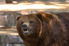 Grizzly bear showing its teeth. A tight image of the face of a captive grizzly bear showing its teeth stock image