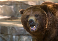 Grizzly bear showing its teeth. A tight image of the face of a captive grizzly bear showing its teeth stock images