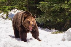 Grizzly Bear. A grizzly bear shows his teeth Stock Image