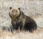 Grizzly bear sitting in deep grass in early fall Stock Photography