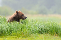 Grizzly Bear. Sitting in grass Stock Image
