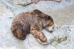 Grizzly bear sleeping Royalty Free Stock Image