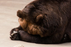 Grizzly bear sleeps Royalty Free Stock Images