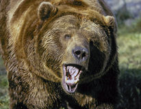 Grizzly bear snarling Stock Image