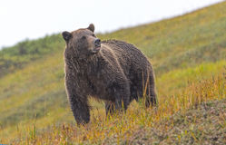 Grizzly Bear Sniffing the Air in the Rain Stock Photography