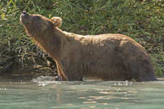 Grizzly Bear Sniffing the Air Royalty Free Stock Images