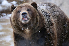 Grizzly Bear in the snow. Grizzly bear closeup with teeth and snow stock photo