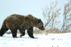 Grizzly bear on snow in Denali. Grizzly bear in Denali National Park and Preserve in winter Royalty Free Stock Image
