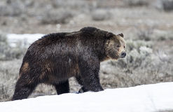 Grizzly bear on snow in early spring Royalty Free Stock Photos