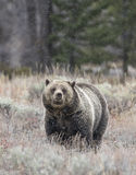 Grizzly bear in the snow feeding on tubers and seeds in sagebrus Stock Photos