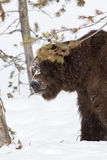 Grizzly bear in snow Stock Photos