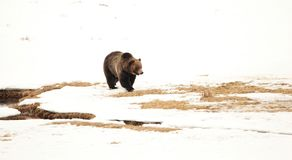 Grizzly Bear in the Snows of Yellowstone. Large grizzly bear in the spring snows of Yellowstone National Park Stock Photography