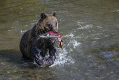 Grizzly bear with sockeye salmon Stock Photo