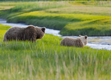 Grizzly bear sow and cub along stream Stock Photography