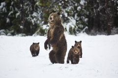 Grizzly Bear. A grizzly bear sow and her cubs make their way through the spring snow in Grand Teton National Park, Wyoming Royalty Free Stock Photo