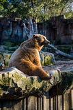 Grizzly bear. Spain. Stock Image