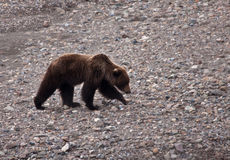 Grizzly Bear in Spring Stock Images