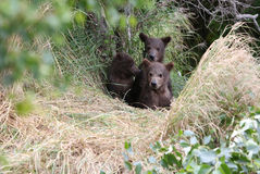 Grizzly bear spring cubs Royalty Free Stock Photography