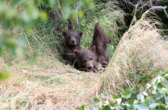 Grizzly bear spring cubs Royalty Free Stock Photos