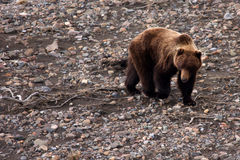 Grizzly Bear in Spring, IV Stock Photos