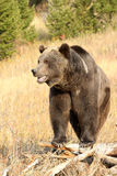 Grizzly Bear standing on old tree Royalty Free Stock Image