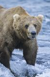Grizzly bear standing in river Stock Photography
