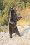Grizzly Bear standing at sunrise Stock Images