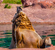 Grizzly Bear Standing in Water with Raised Paw Royalty Free Stock Image