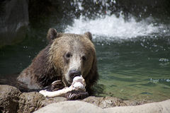 Grizzly Bear Staring at a Bone. A grizzly bear stares at a bone that sits on a rock Royalty Free Stock Images
