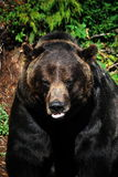 A Grizzly Bear staring you down. A Grizzly watching us on Grouse Mountain in Vancouver B.C Stock Images