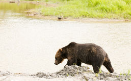 Grizzly bear by stream Stock Photography