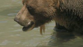 Swimming Bear in 4K