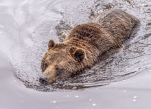 Grizzly Bear. A grizzly bear swimming in water stock image