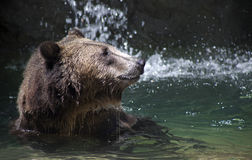 A bear baths in a pool of water. A grizzly bear swims in a pool of water Royalty Free Stock Image
